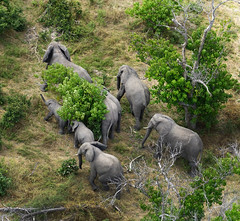 DSC01282 (deepchi1) Tags: africa botswana okavangodelta wildlife gameviewing gametracking biggame safari elephant elephants pachyderms herd trunk tusk aerial acacia trees bigfive
