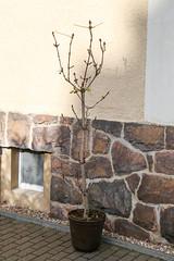 Roßkastanie Oktober 2017 (blumenbiene) Tags: kastanie chestnut buckeyes rosskastanie aesculus gewöhnliche hippocastanum horse herbst autumn tree baum garten garden