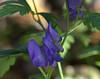 Wolfsbane (KsCattails) Tags: flower kscattails monkshood poisonous powellgardens wolfsbane plant