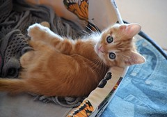 Spritz EXPLORE (En memoria de Zarpazos, mi valiente y mimoso tigre) Tags: kitten cat kitty gatto micio gato katze chat neko ginger orangetabbymiciorossospritz spritzeddu gatito chatonroux