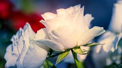 Les roses blanches (YᗩSᗰIᘉᗴ HᗴᘉS +11 000 000 thx❀) Tags: rose flower flora roses whiteflower white 7dwf fleur blue hensyasmine