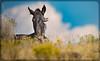 Wild Horses (Jami Bollschweiler Photography) Tags: wild horses sunset fighting stallions love west desert utah onaqui herd wildlife photography great basin horse foal filly colt mare