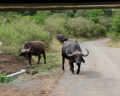 Hluhluwe Game Reserve (JingKe888) Tags: southafrica capebuffalo