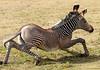 grevy zebra artis BB2A2572 (j.a.kok) Tags: zebra grevyzebra grevy´szebra equusgrevyi equus artis animal zoogdier dier mammal herbivore afrika africa