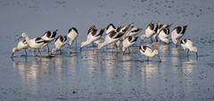 Avocets Feeding (tresed47) Tags: 2017 201709sep 20170925bombayhookbirds avocet birds bombayhook canon7d content delaware folder peterscamera petersphotos places season september shorebirds summer takenby us