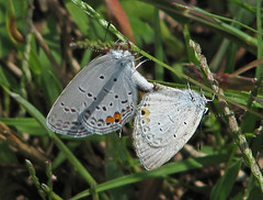 Eastern tailed-blue's - yesterday (Cupido comyntas) (Vicki's Nature) Tags: easterntailedblue pair mating two male female gray touchoforange spots tiny small grass biello georgia october vickisnature canon s5 0057