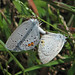 Eastern tailed-blue's - yesterday (Cupido comyntas)