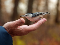 Friendly visitor (annkelliott) Tags: calgary alberta canada fishcreekpark eastend nature ornithology avian bird nuthatch whitebreastednuthatch sittacarolinensis orderpasseriformes familysittidae genussitta female perched hand man sideview seed feeding bokeh trees fallcolours outdoor autumn fall 10october2017 fz200 fz2004 panasonic lumix annkelliott anneelliott ©anneelliott2017 ©allrightsreserved explore interestingness169 explore2017october12