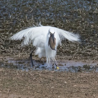 Little Egret with a mouth full