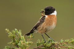 Common Stonechat Saxicola torquatus (janmangorfagerland) Tags: animal birds bird birdphoto birdsgallery bokeh birding birdsofnorway birdswildlifenaturenikon300mmvrii2 black colours colorful coast d800e dephtoffield depth distinguishedbirds 300mmvrii28g exposure evening fagerland field fugler flickr fuglebilder fauna gallery green photography photo white islands nikon wildlife nikkor vidde jan janfagerland mjåvatn karmøy landscape light mangor myr nature norway norge natur outdoor planet red supertele saxicola songbird svartstrupe ornithology portrait vr