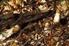 Stinkhorn - Stinkzwam (De Rode Olifant) Tags: stinkhorn stinkzwam nature marjansmeijsters phallusimpudicus autumn mushroom fungi