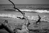 Fallen Tree (janmalteb) Tags: deutschland germany prerow weststrand strand beach waves wellen meer sea ocean ozean baltic ostsee holz wood tree baum wasser water driftwood treibholz windig windy canon eos 1000d 50mm schwarz weiss black white monochrome monochrom