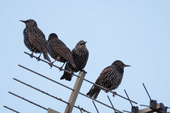 Starlings (Howie Mudge LRPS BPE1*) Tags: animal bird birds wild wildlife nature outside outdoors sky antenna perch perched telephoto olympus sigma sigma150600mmclens microfourthirds mft m43 compactsystemcamera mirrorlesscamera test testing adaptedlens commlite commliteadapter 150600mmf563dgoshsm|con olympuspenf