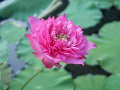 Nelumbo nucifera 'Welch' Lotus Wahgarden Thailand 3 (Klong15 Waterlily) Tags: welch lotus flower lotusflower landscape thailotus thailandlotus wahgarden lotusseeds