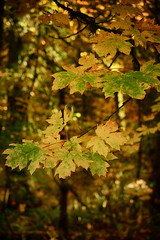 Golden Forest (flashfix) Tags: october242017 2017inphotos ottawa ontario canada nikond7100 nikon 40mm victoria bc britishcolumbia goldstreampark nature leaves maple bokeh yellow green branches woods