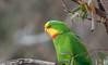superb parrot (Polytelis swainsonii)-0917 (rawshorty) Tags: rawshorty birds canberra australia act uriarraroad