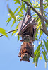Flying Foxes 005 (DMT@YLOR) Tags: mammal flyingfox fruitbat leaves branch branches daytime daylight day sky blue upsidedown look looking eyes