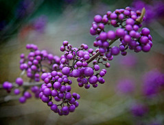 IMG_0619 (bob_rmg) Tags: perrow arboretum tree autumn colour leaves bedale thorp berries purple berry macro