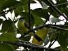 _1290066 social flycatcher (4) (archaeologist_d) Tags: honduras birdwatching haciendasanlucas socialflycatcher