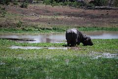 DSC_0328 (graceesimp) Tags: olpejeta capebuffalo buffalo