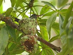Amazilia Ventriblanco, Glittering-throated Emerald (Amazilia fimbriata) (Polyerata fimbriata) (Francisco Piedrahita) Tags: aves birds colombia lamacarena nido nest amaziliaventriblanco glitteringthroatedemerald amaziliafimbriata polyeratafimbriata