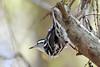 Green cay (BMADHudson) Tags: bird nature wildlife warbler blackandwhite tree upsidedown branch green white black face beak eye closeup nikon 300mm florida southflorida south east