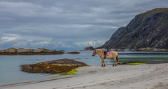 Resting (Siggi007) Tags: horse animal landscape sea seaside seascape paysage nature colors mountains beach sand pose rocks sky clouds ocean norway norwegen océanos tranquil serene mood coastline canoneos6d water environment travel outdoors portrait scenery scandinavia daylight bay rock greatphotographers