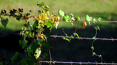 Fenced Friday: Barbed wire (Hayseed52) Tags: fencedfriday fence weed wire barbedwire sunlight light fall