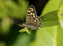Butterfly. (ost_jean) Tags: butterfly nikon d5200 900 mm f28 ostjean vlinder papillon colors beauty lovely bokeh