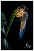 cicada (fiftymm-macro) Tags: cicada molting insect macro animal fiftymm99 nikon