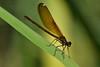 Damigella (luporosso) Tags: natura nature naturaleza naturalmente nikon nikond500 insect insetto insetti damselfly damigella damselflies macro closeup luporosso imdifferent nikonitalia abigfave