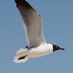 Flying Laughing Gull thumbnail