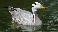 Bar-headed goose / oie a tete barree (Franck Zumella) Tags: goose geese barheaded bar headed tete barree oie oiseau bird lake lac water eau