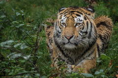 Ganz der Papa (gosammy1971) Tags: tiger zoo duisburg 2017 makar dasha elroi animal tier