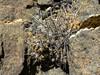Copiapoa megarhiza echinata RB2138 (Robby's Sukkulentenseite) Tags: atacama cacti cactus chile copiapoa echinata fnrrb2138 humilis ka4329s kakteen kaktus megarhiza rb2138 reise standort totoral