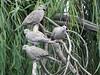 Doves, Doves, Doves (starmist1) Tags: dove willow tree branch whip perch limb bare autumn fall october