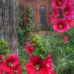 Toronto Ontario ~ Front Yard Garden ~ Hollyhock Flowers thumbnail