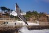 Gaivota (Carlos Santos - Alapraia) Tags: gaivota ngc ourplanet animalplanet canon nature natureza wonderfulworld highqualityanimals unlimitedphotos fantasticnature birdwatcher bird ave pássaro seagull