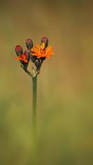 Pilosella Aurantiaca (Visual Stripes) Tags: flower wild october nature autumn olympus sigma105mm macro dof bokeh