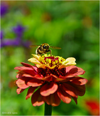 Lonely at the Top (Hindrik S) Tags: flower insect bumblebee holder hommel ynsekt flora fauna skepping creation schepping schöpfung nature natuur natuer sonyphotographing sony sonyalpha a57 α57 slta57 tamron 2017 garden blom bloem plant park tamronspaf1750mmf28xrdiiildasphericalif