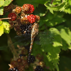 2017_08_1094 (petermit2) Tags: commonhawkerdragonfly commonhawker hawker dragonfly hawkerdragonfly bramble blackberry clumberpark clumber sherwoodforest sherwood nottinghamshire nationaltrust nt