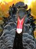 Swan (markb120) Tags: bird fowl flyer flier plumage feathering feather coverts coat dress beak bill pecker rostrum neb nib hhead eye animal fauna
