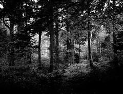 IMG_20171020_0009 (Filmphotographic98) Tags: film photography medium format shootfilm forestry trees woodland ferns tunnel bristol somerset