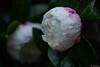 Sasanqua (reikonakamura) Tags: outdoor blossom wate rain