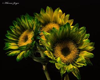 Green  Californina Sunflower Trio 1010 Copyrighted
