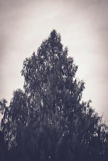 Old pine tree.