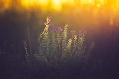 Summer Rollback (der_peste) Tags: bokeh dof flower summer blur light backlight backlit sun sunset sundown
