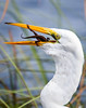 (Fifinator) Tags: dinosaur scary egret prey predator eat anole lizard swallow gulp eating white great