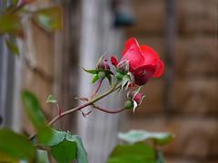 A lonely rose (dksesh) Tags: seshadri dhanakoti harita panasonic dmcg6 g6 sesh seshfamily haritasya hevilambisamvatsara panasonicdmcg6 panasonicg6