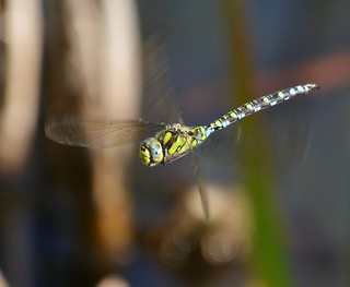 Southern Hawker Dragonfly Aeshna Cyanea Titchfield Haven